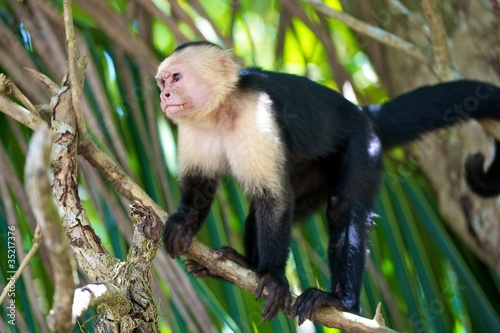 Photo  Capucin Monkey, Costa Rica