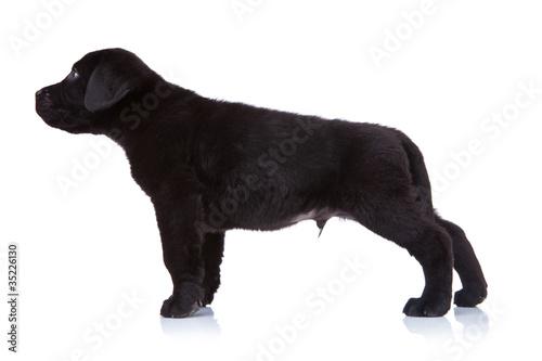 Tuinposter Panter side of a labrador puppy