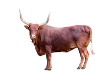 Brown Bull Isolated On Whit