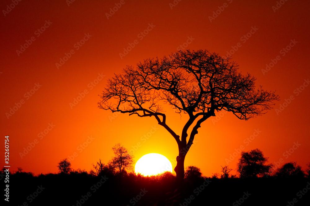Fototapeta A marula tree silhouette at sunset