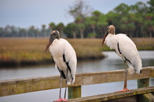 Two Wood Storks On A Pier
