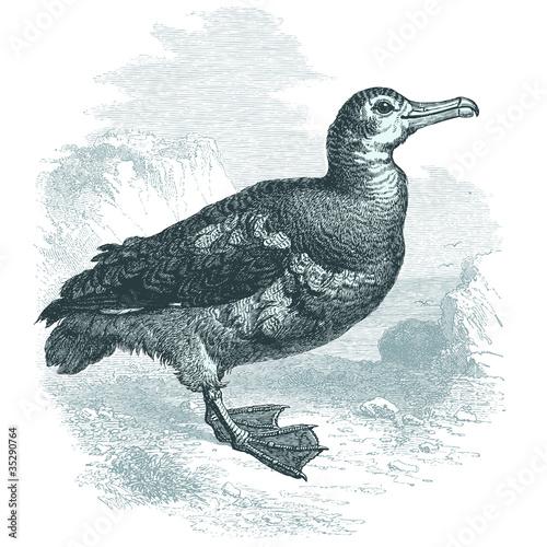 Obraz na plátně Albatros