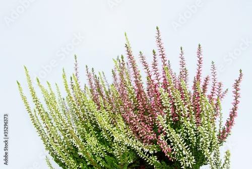 Obrazy lawenda heidekrautpflanze