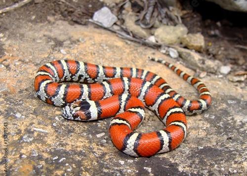 Fotografía  Juvenile Red Milk Snake, Lampropeltis triangulum syspila