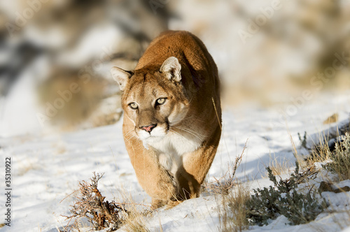 Staande foto Puma Mountain Lion