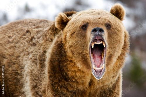 Growling Grizzly Bear Fototapet