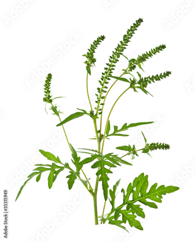 Photo Ragweed plant
