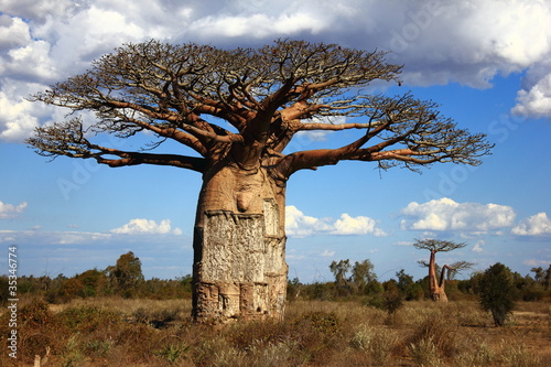 In de dag Baobab big baobab tree of Madagascar