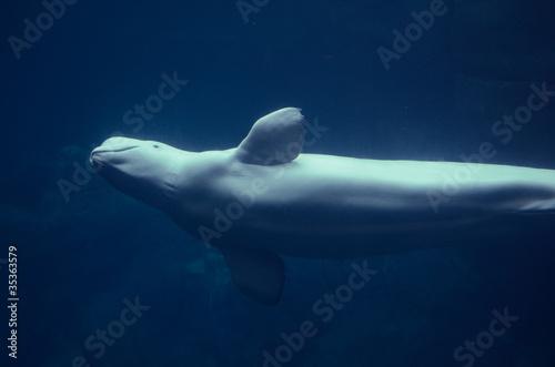 Obraz na plátně Beluga Whale