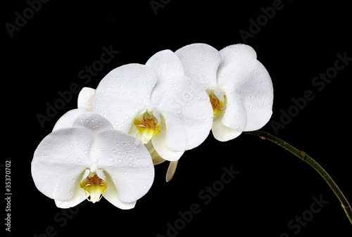 orchid-branch-sw