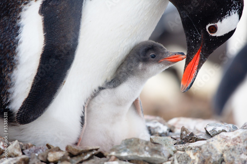 Spoed Foto op Canvas Pinguin penguins nest