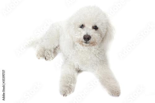 Canvastavla bichon frisé - jeune chien