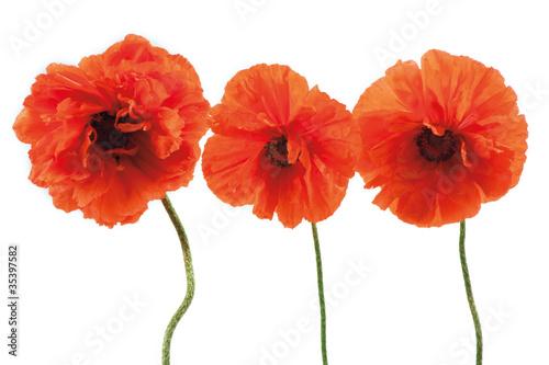 Poster Poppy Three red poppies