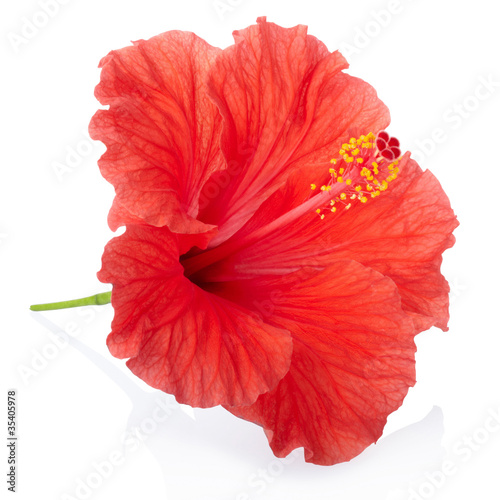 Fotomural Red hibiscus flower isolated, clipping path included
