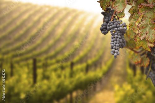Garden Poster Vineyard Beautiful Lush Grape Vineyard
