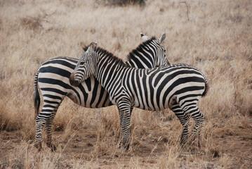 Fototapeta na wymiar Zebras beim Schmusen