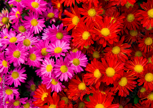 Staande foto Roze red and yellow daisies