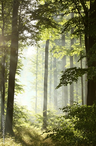 Papiers peints Foret brouillard Sunlight enters deciduous forest on a misty morning after rain