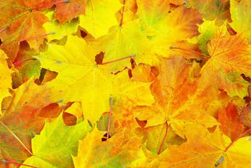Naklejka na ściany i meble maple leaf