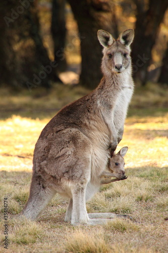 Papiers peints Kangaroo Mother Wallaby with Joeys