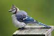 Blue Jay on a bird house