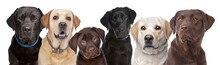 Six Labrador Dogs In A Row