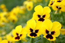Yellow Pansy Flowers