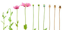 Evolution Of Opium Poppy Isola...