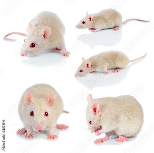 Fotografie, Obraz  white mouse