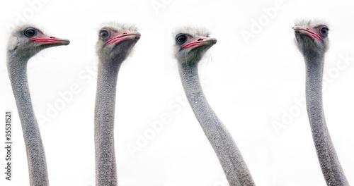 An ostrich heads