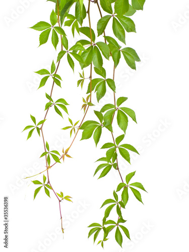 wild vine twig isolated Wallpaper Mural