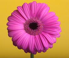 Różowa Gerbera Na żółtym Tle