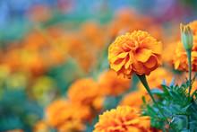 Beautiful Orange Flower On Blu...
