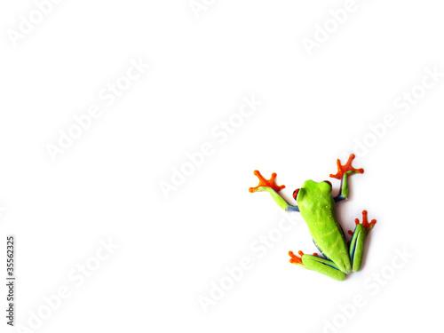 Montage in der Fensternische Frosch Rotaugenlaubfrosch 97, Agalychnis callidryas