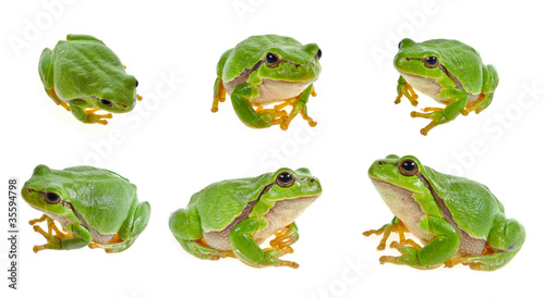 Foto op Aluminium Kikker tree frog isolated on white background
