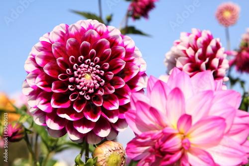 Poster de jardin Dahlia bunte Dahlienblüte