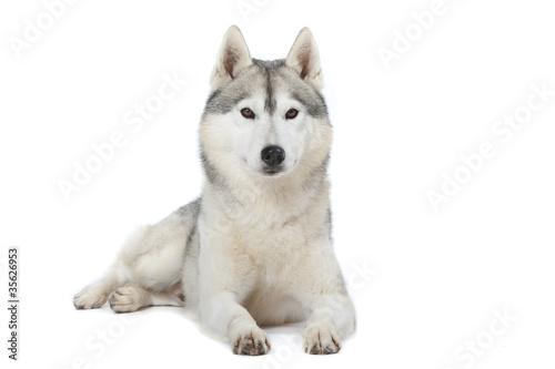 Fotografía  fierté du siberian husky