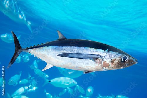 Albacore tuna fish Thunnus Alalunga Wallpaper Mural