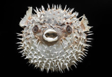 Long-spine Porcupinefish - Dio...