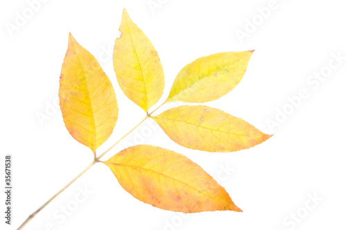 La pose en embrasure Jaune Closeup of maple autumn leaf on white background