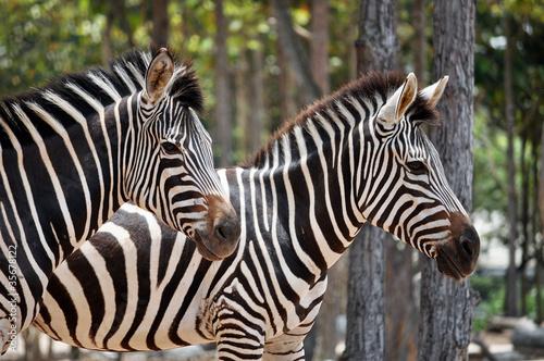 In de dag Bleke violet zebras