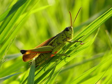 Grasshopper On The Grass