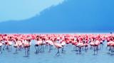 Fototapeta Zwierzęta - African flamingos
