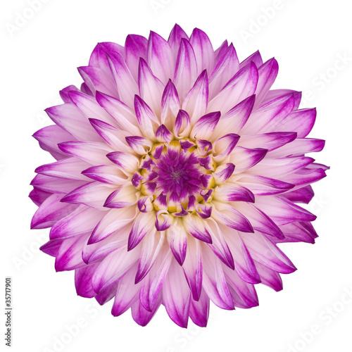 Poster de jardin Dahlia violet/white dahlia