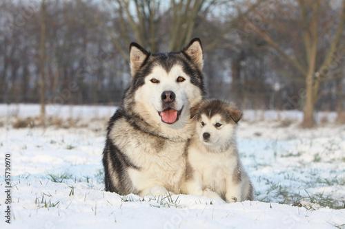Fotografía  alaskan malamute et son bébé dans la neige