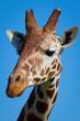 Giraffenkopf_02