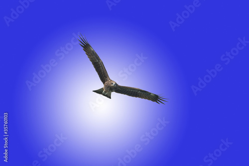 Fototapeta black kite
