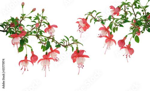 Fotografia Fuchsia flowers over white background