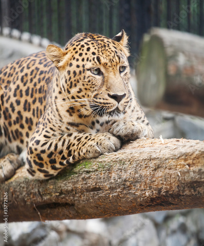 Foto op Aluminium Luipaard jaguar has a rest