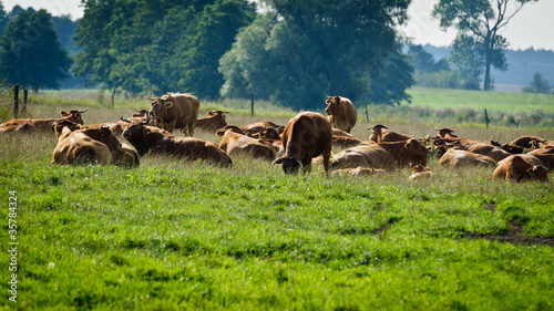 Spoed Fotobehang Schotse Hooglander Cows standing on the meadow and eating grass